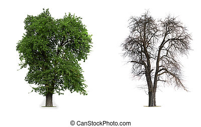 Transformation - Isolated Apple Tree in Winter and Summer