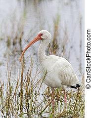 White Ibis Wading in a Shallow Marsh - White Ibis Eudocimus...