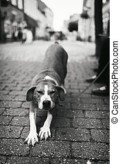 Pet with Personality  - Tired dog stretching in the street