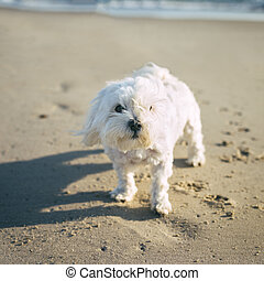 Pet with Personality  - White little dog at a sandy beach