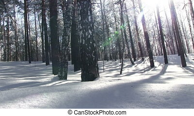 Winter Forest - Winter forest, big snow-covered pines...