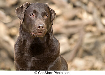 Handsome and Alert Chocolate Labrador - Shot of a Handsome...