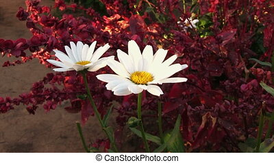 Camomile flower and red amaranth plant on background