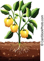 Fresh capsicum on the plant illustration