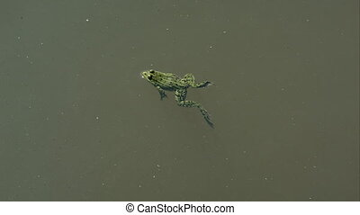 Frog swimming in a pond - Frog swimming in green dirty water...