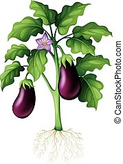 Eggplants on the tree