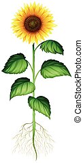 Sunflower plant with roots and stem illustration