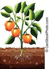 Orange capsicum on the plant