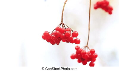Red viburnum berries guelder-rose