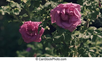Flowers of a dogrose, windy weather, rose dog, rose of Kanin, Rosa canina L.