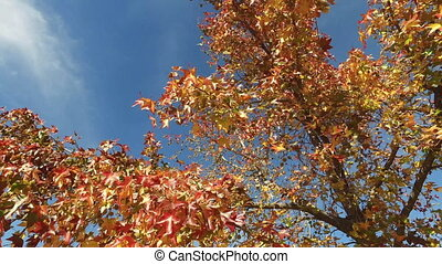 Autumn in forest maple leafs on wind