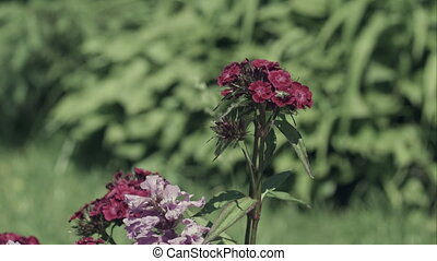 Fly on pink Carnations in garden - Pink Carnations in garden...
