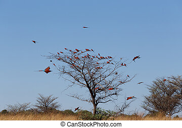 large nesting colony of Nothern Carmine Bee-eater (Merops...