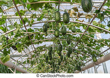 Long bottle gourd or winter melon