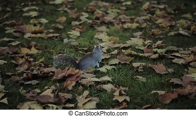 Quick shot of a nice grey squirrel in a park