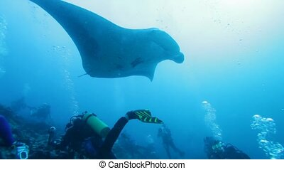 Relaxing Swimming of Big Manta Rays