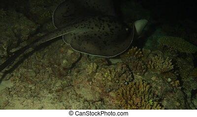 Blotched Fantail Ray Taeniura meyeni at Night Dive, Maldives...