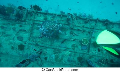 Divers and Hawksbill Turtle Eretmochelys imbricata, Maldives...