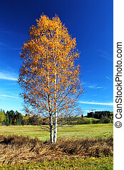 Birch Tree in Autumn - Birch Tree in shiny autumn colors in...
