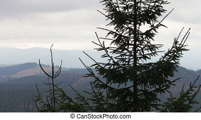 Pine tree in mountains in a landscape.