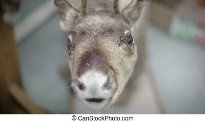Close up Elds Deers nose - deer foraging for food in the...