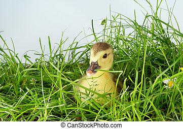 Manard in grass