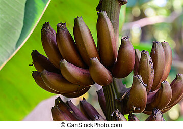 Red banana, Musa Nak Musaceae, AAA group