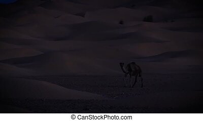 A dromedary camel at night - Sahara desert landscape by...