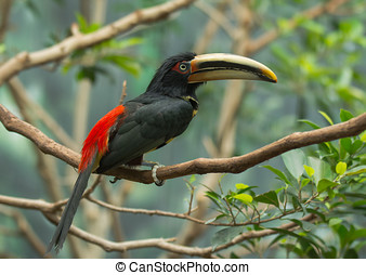 Pale-mandibled Aracari - A beautiful, exotic and extremely...