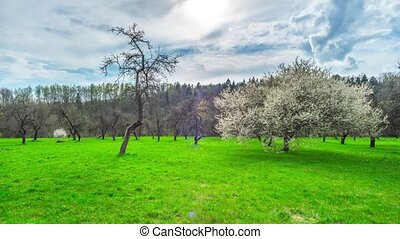 Spring garden, cherry blossoms and the sun, panoramic...