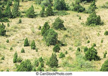 coniferous trees on a hillside
