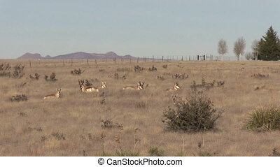 Pronghorn Antelope Herd - a herd of pronghorn antelope on...