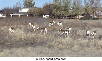 Pronghorn Herd in Town - a herd of pronghorn antelope in...