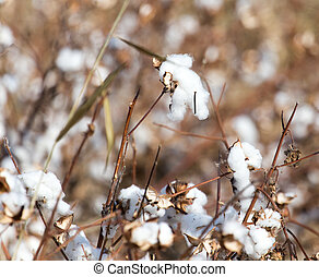 Cotton autumn nature