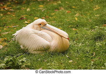 Great White Pelican, Pelecanus onocrotalus relaxing on the...