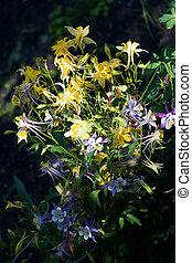 Tiger lilies in garden with dewdrops. Lilium lancifolium....