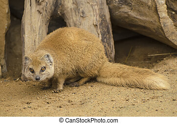 Yellow Mongoose on the sand - Yellow Mongoose - Cynictis...
