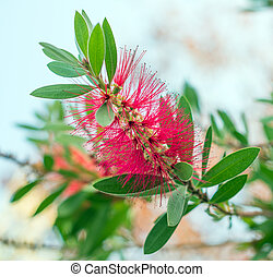 Callistemon or Bottlebrushes flower in the garden