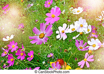 Summer landscape Flowers cosmos