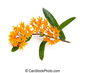 Butterfly Milkweed (Asclepias tuberosa) on a white...