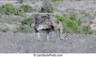 Female ostrich browsing - Female ostrich (Struthio camelus)...