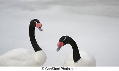Cygnus melancoryphus. Two black necked swans walking on snow...