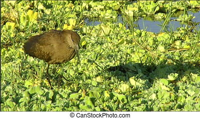 Hamerkop Scopus umbretta foraging among hyacinth weed in...