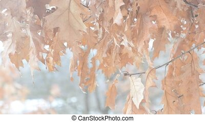 Old dry brown foliage of northern red oak blown by wind -...