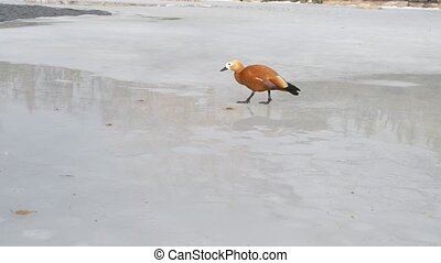 Tadorna ferruginea. Ruddy shelduck walking on ice of frozen...