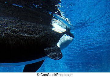 underwater image of a killer whale - Killer whale swimming...
