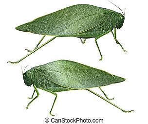 Leaf Grasshopper - Long-horned grasshoppers, Tettigoniidae,...