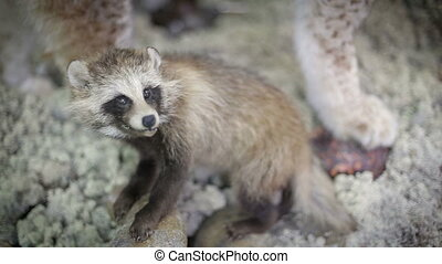 Coon pretty face closeup Wild animal in nature - Coon pretty...