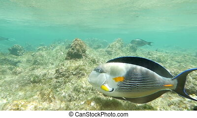 Surgeon Fish Swimming in Coral Reef