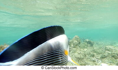 Sohal Surgeonfish On The Coral Reef - Slow motion clip of a...